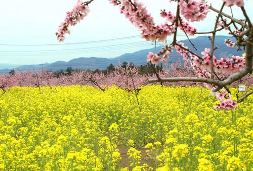 菜の花と桃のお花.jpg